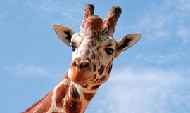 Giraffe_LimpopoWeb
