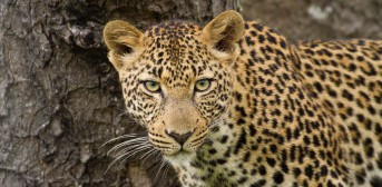 Leopard,_Thornybush_960_472_80auto_s_c1_center_center